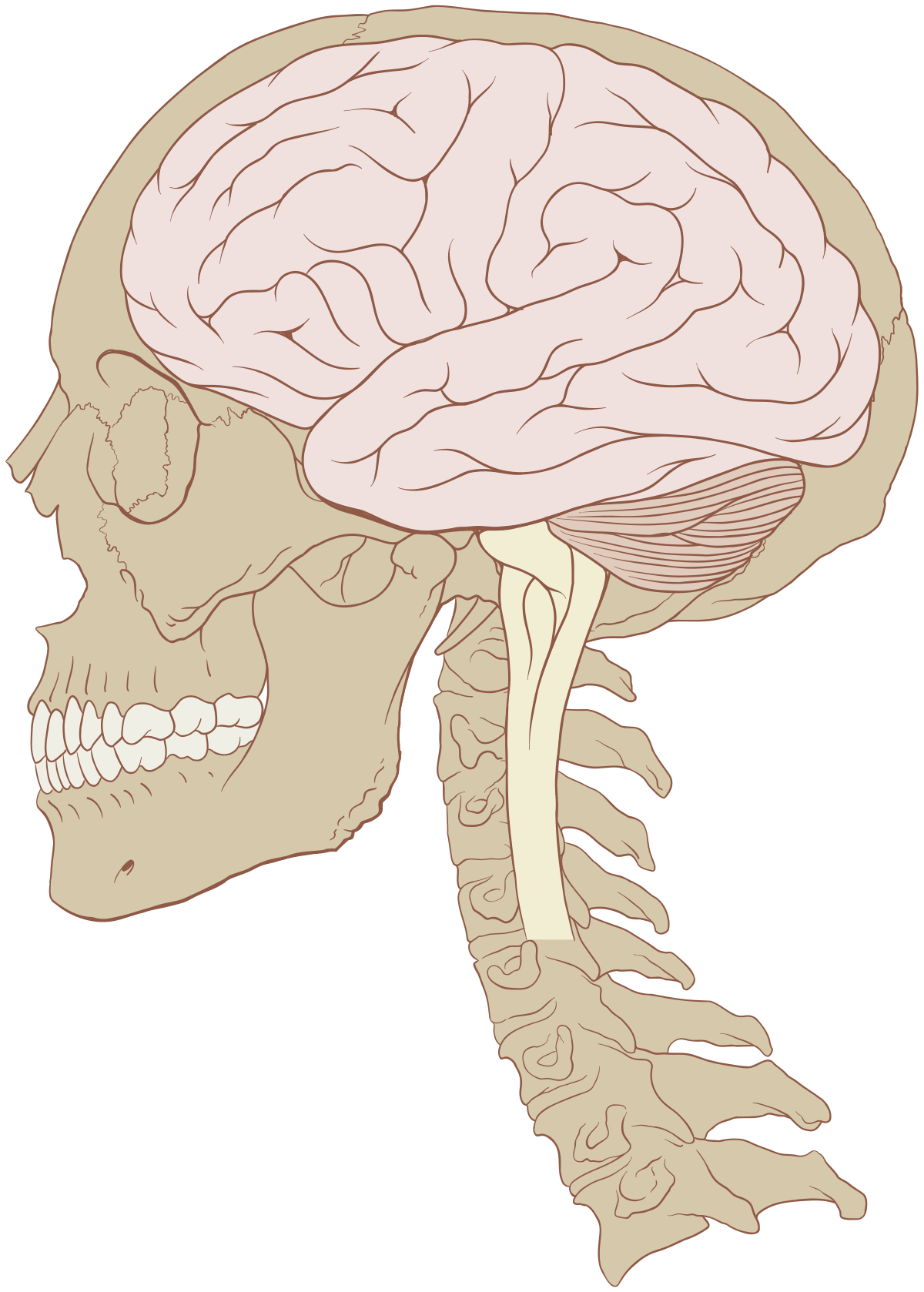 graphic library download Human brain