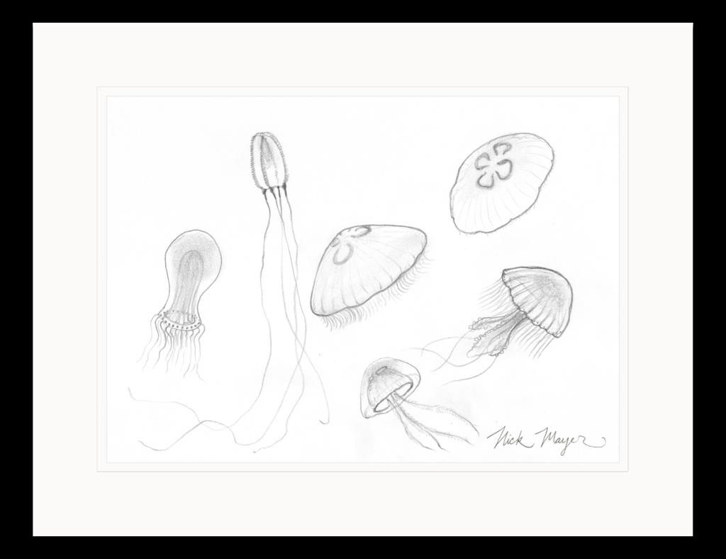 picture free Jellyfish Study Original Pencil Sketch