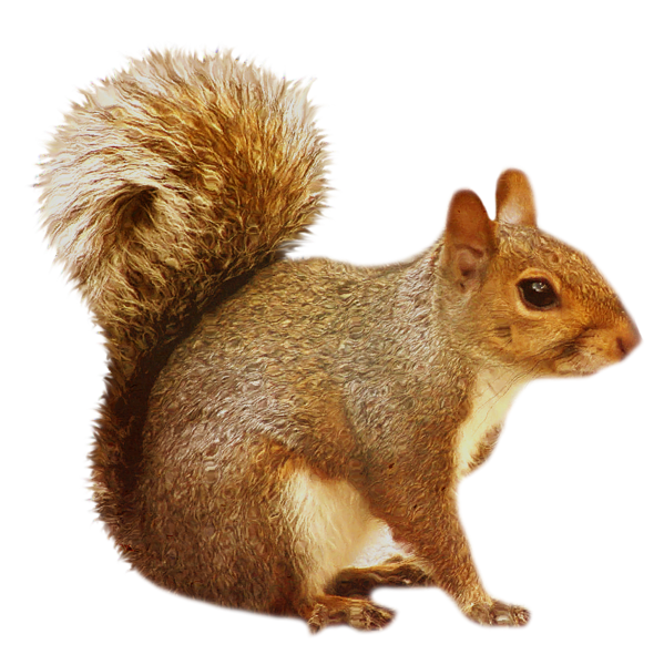 graphic freeuse stock Transparent Brown Squirrel