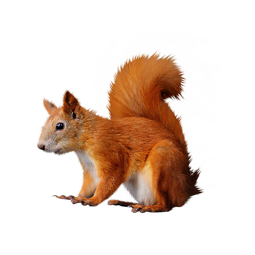 freeuse download Acorn clipart fox squirrel. Red free on dumielauxepices