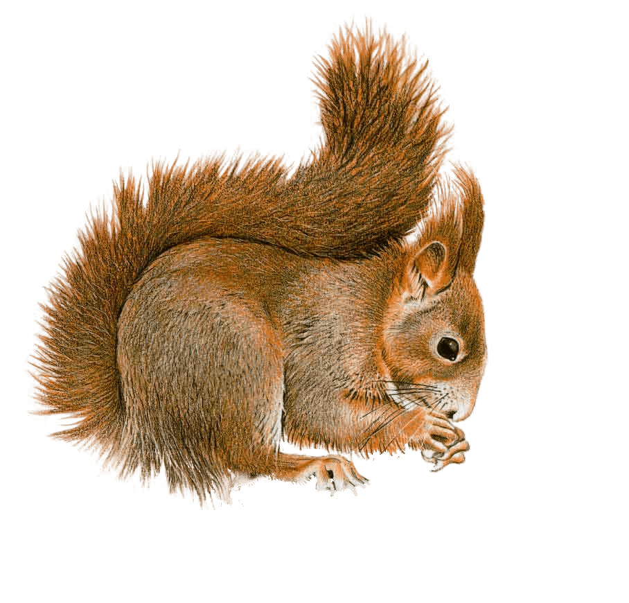 clipart freeuse Red transparent background free. Acorn clipart fox squirrel
