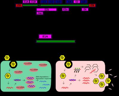 picture library download Oncolytic adenovirus revolvy. Vector capacity adenoviral