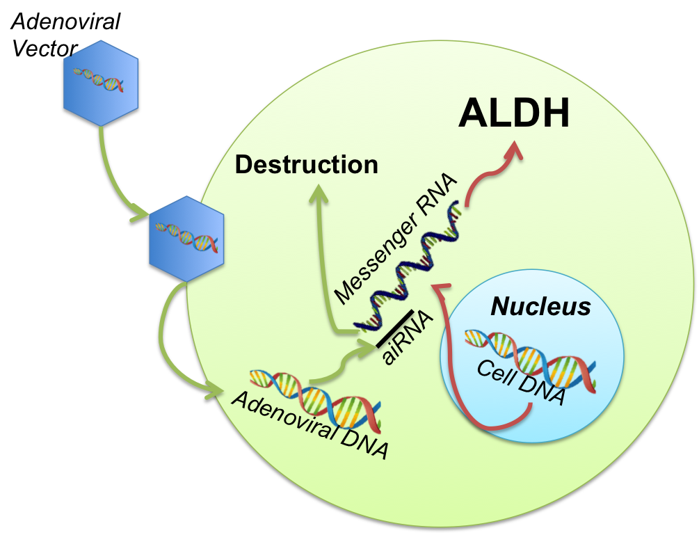 clip free Gene Therapy for Alcoholism