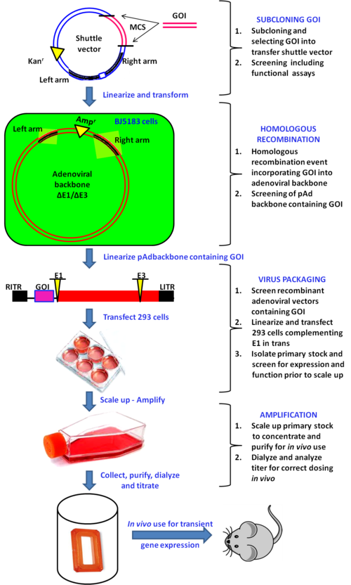 picture freeuse download Recombinant systems . Vector capacity adenoviral