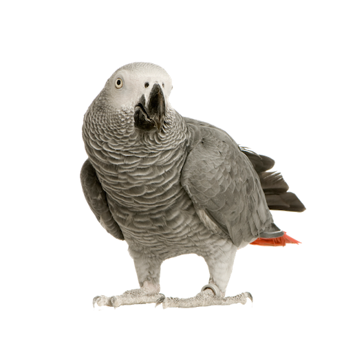 clipart black and white stock African Greys transparent