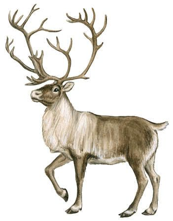 picture free stock Caribou or reindeer are. Tundra drawing forest