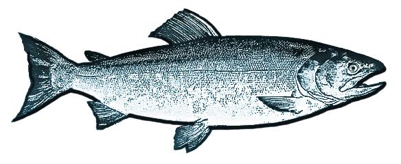 image stock Salmon Drawing at GetDrawings