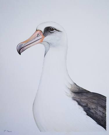 image transparent . Albatross drawing