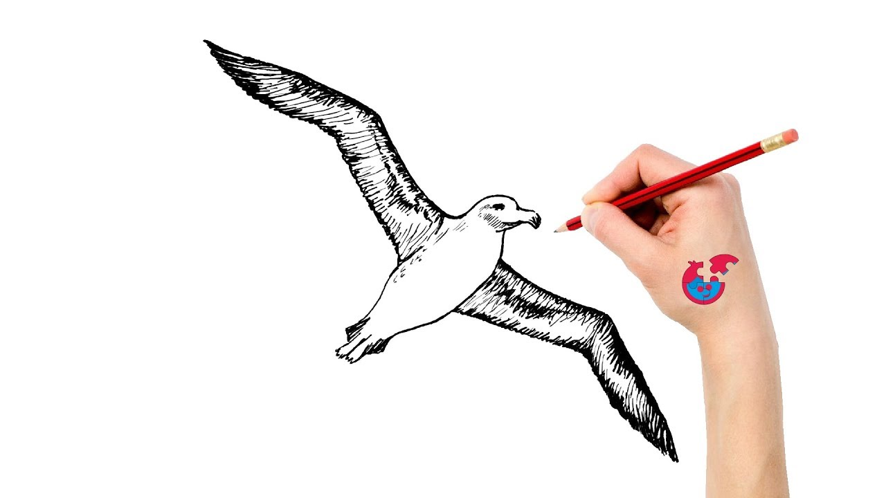 jpg transparent download Albatross drawing. Learning how to draw