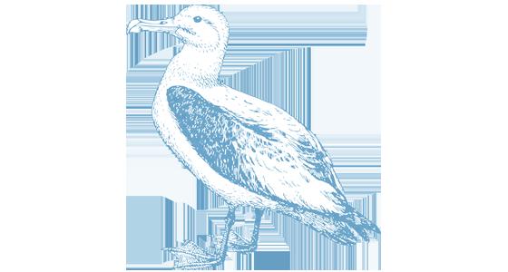 vector free stock Laysan Albatross
