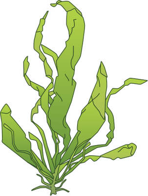 graphic freeuse download Algae clipart. Drawing at getdrawings com