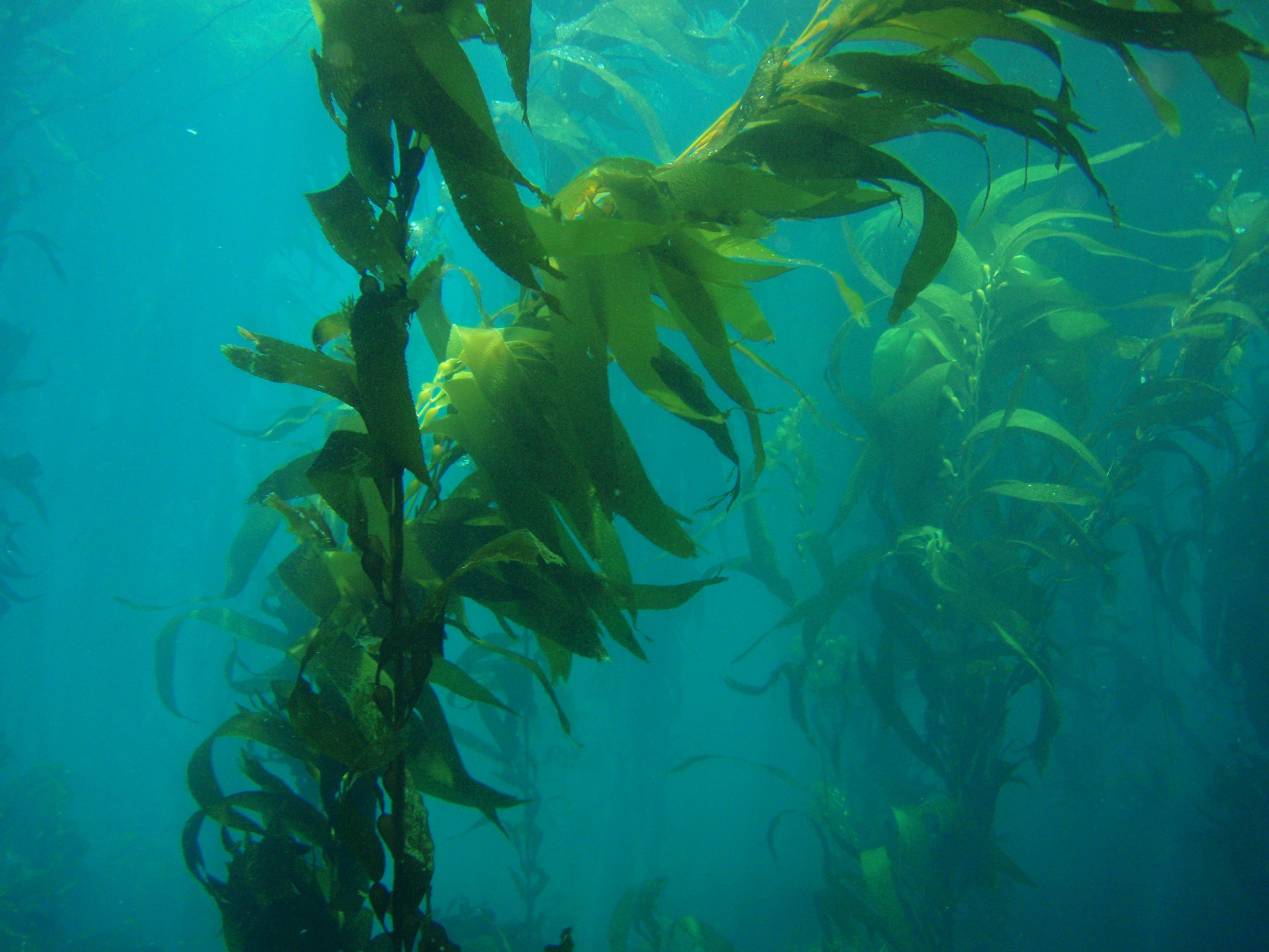 clip art download Algae clipart giant kelp. Transparent free .
