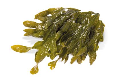 vector royalty free library Sea png transparent images. Algae clipart giant kelp