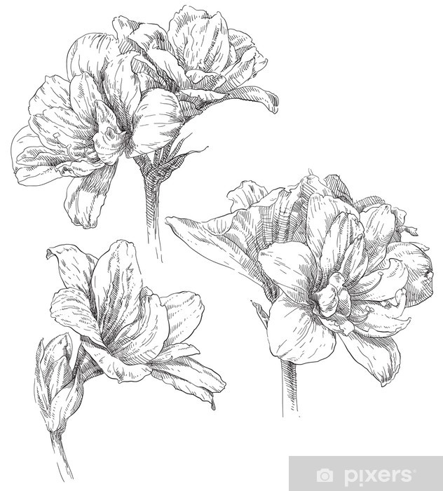 picture stock Amaryllis drawing. Hand flower blossom sticker