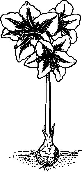 svg free Of an clip art. Amaryllis drawing