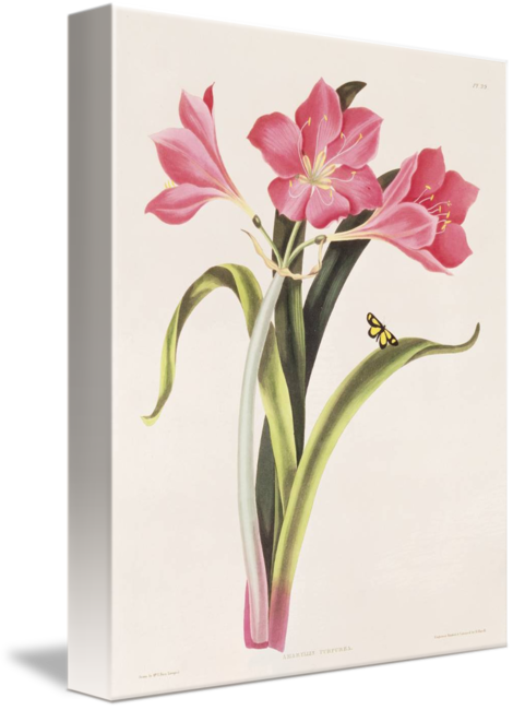 banner Purpurea by rober havell. Amaryllis drawing