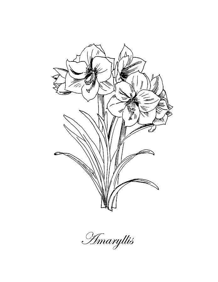 clip art black and white library Amaryllis drawing. Botanical