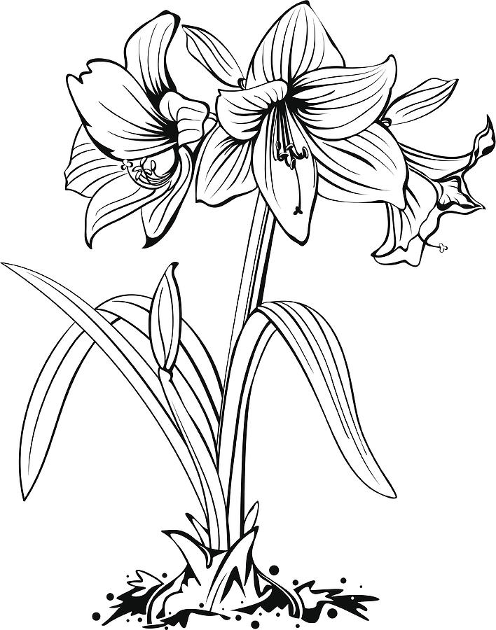 png transparent library Flower line art . Amaryllis drawing