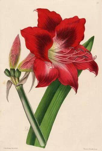 jpg royalty free stock Amaryllis drawing. In botanical drawings lilies
