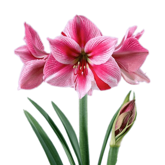 vector free library Pink and White Amaryllis PNG