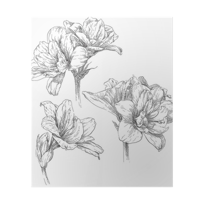 jpg freeuse library Hand drawing amaryllis flower blossom Poster