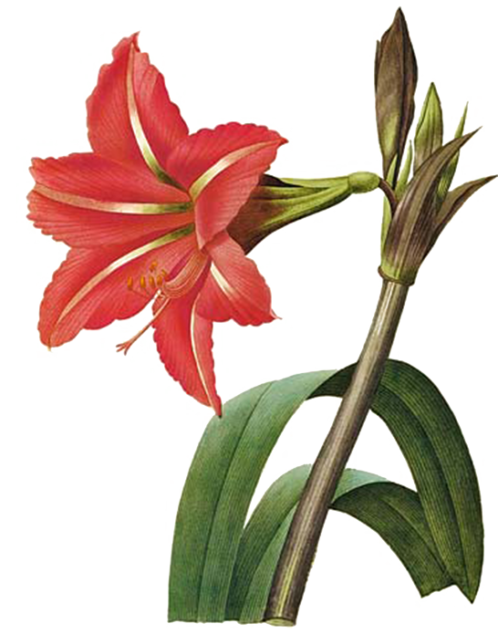 clipart library stock amaryllis drawing hippeastrum #88900169
