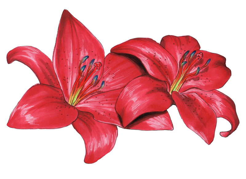 picture free download Flower Drawing Lilium philadelphicum olsikowa