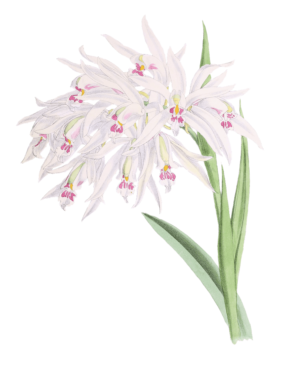 clipart library download Orchids Drawing PNG