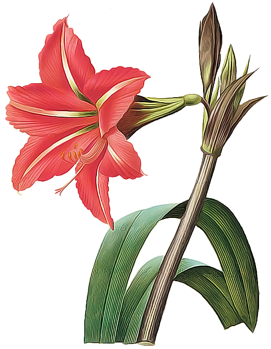 picture transparent library amaryllis drawing pencil #88897413