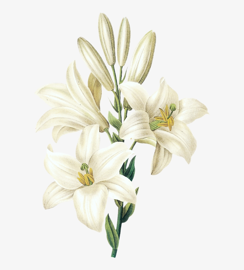 picture royalty free Amaryllis drawing stargazer lily. Flower flowering plant white