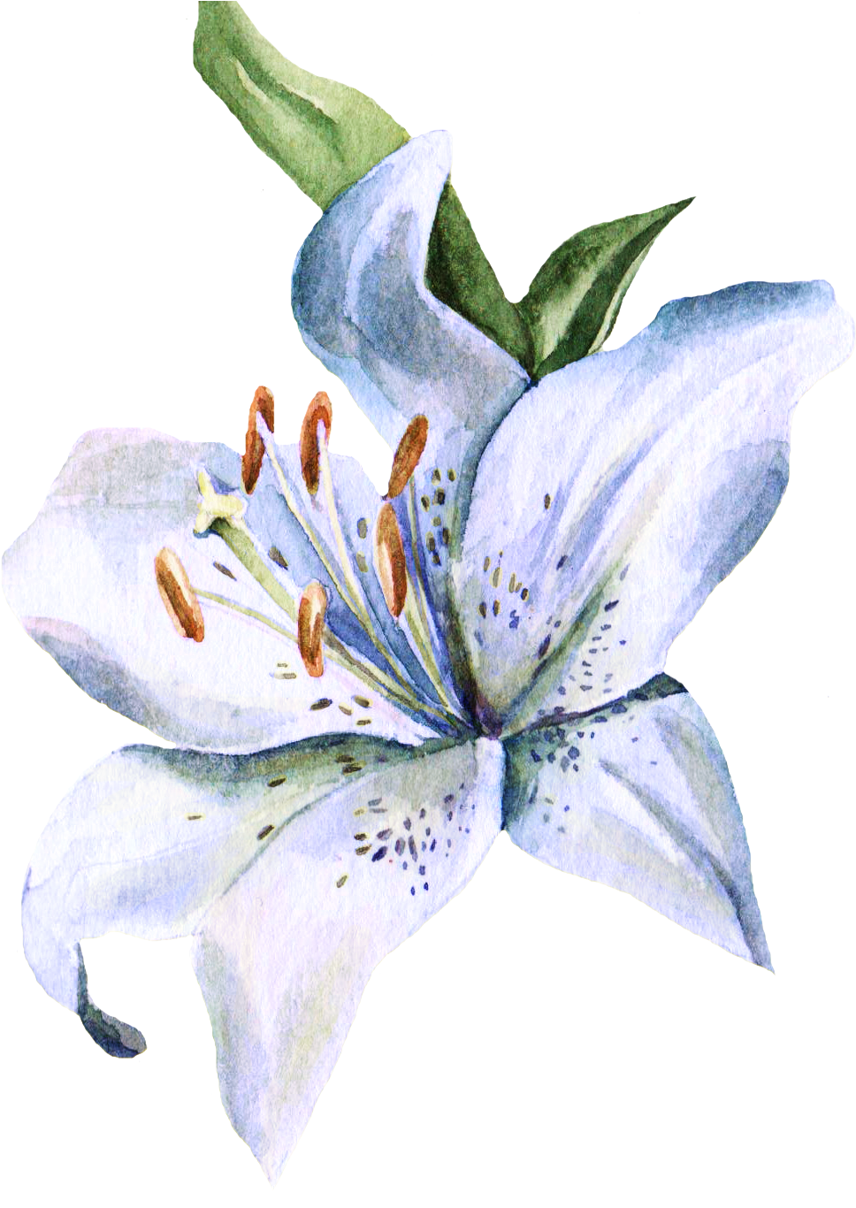 banner freeuse Amaryllis drawing stargazer lily. Watercolor