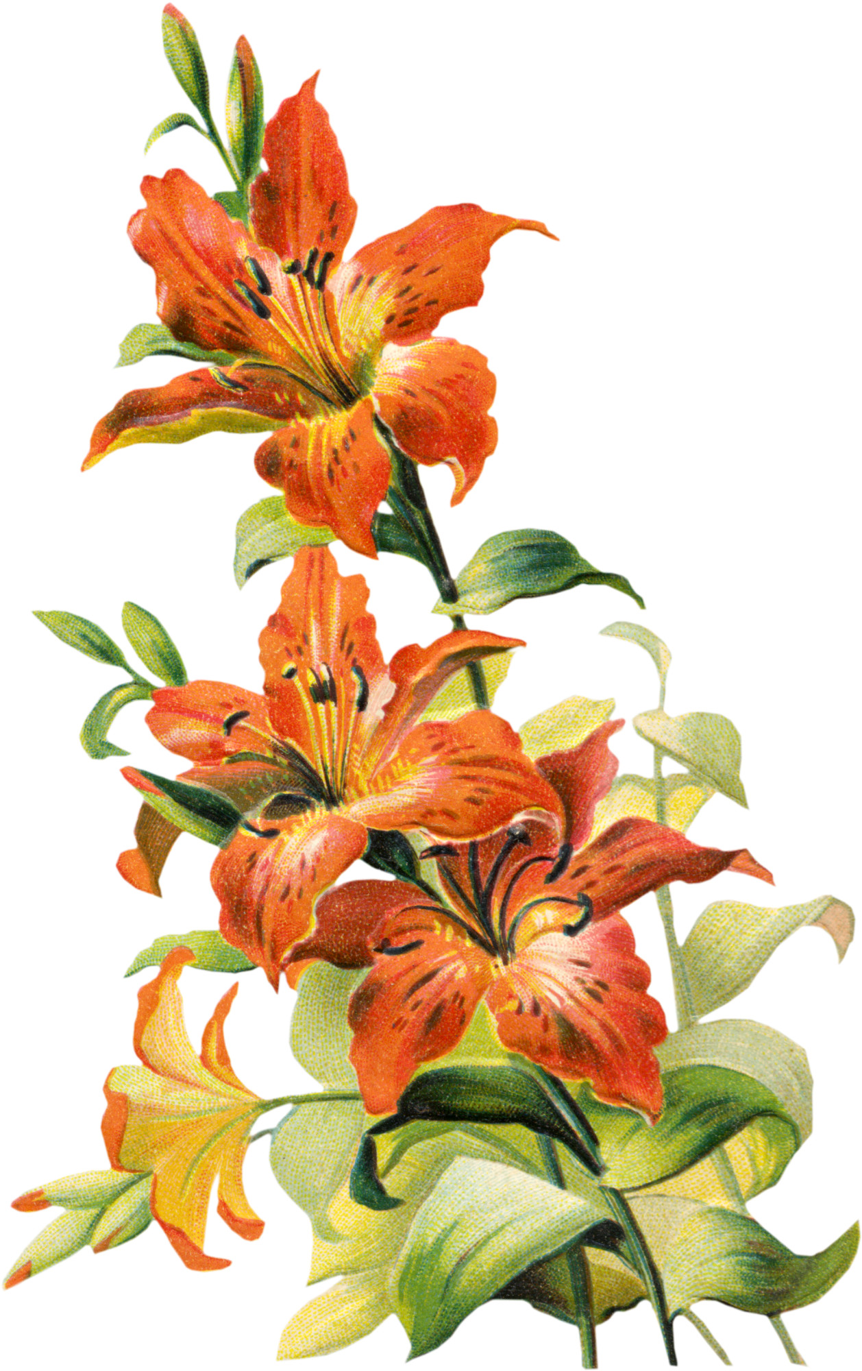 image library library amaryllis drawing tiger lily #88898650
