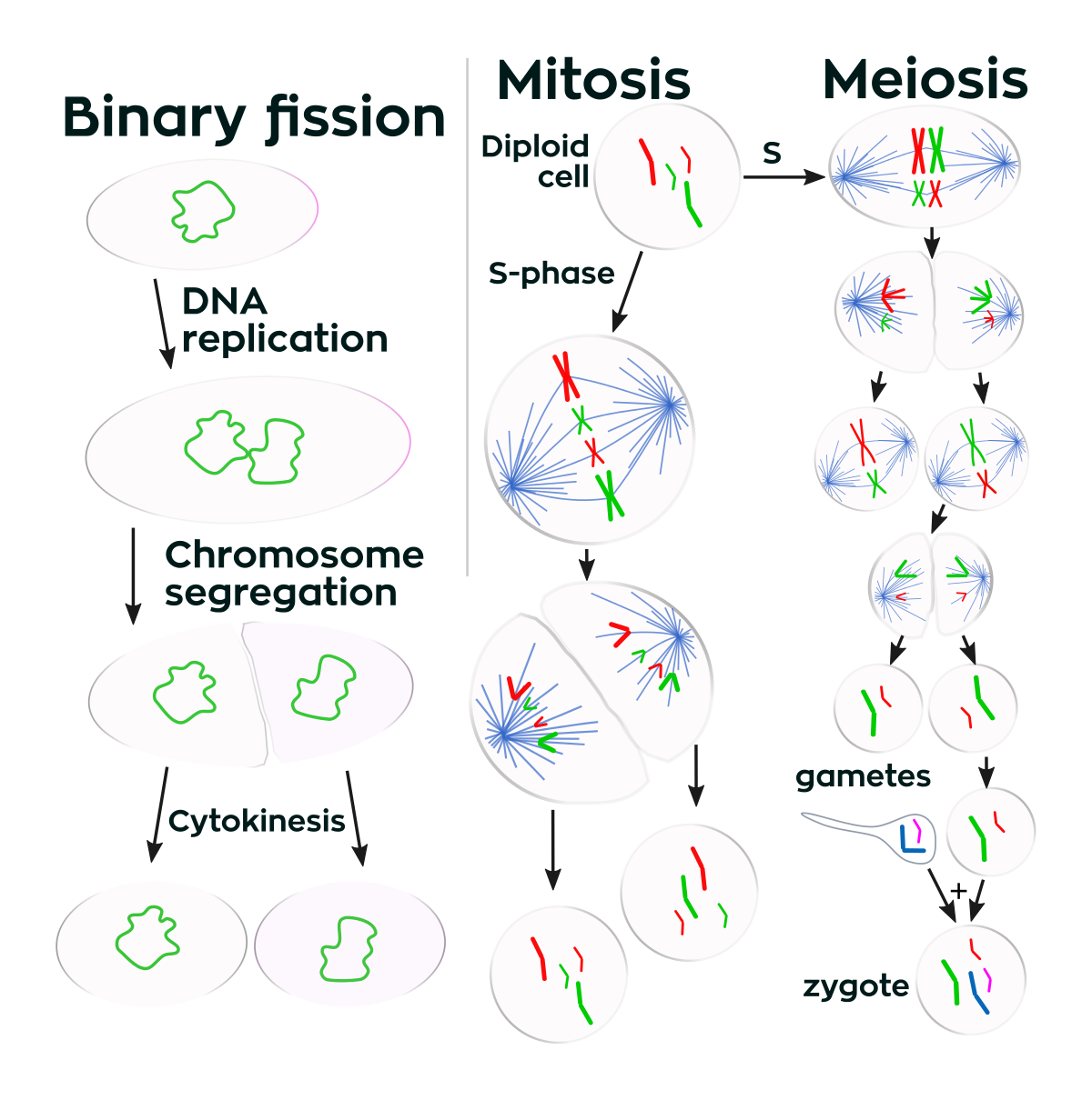 image freeuse Cell division