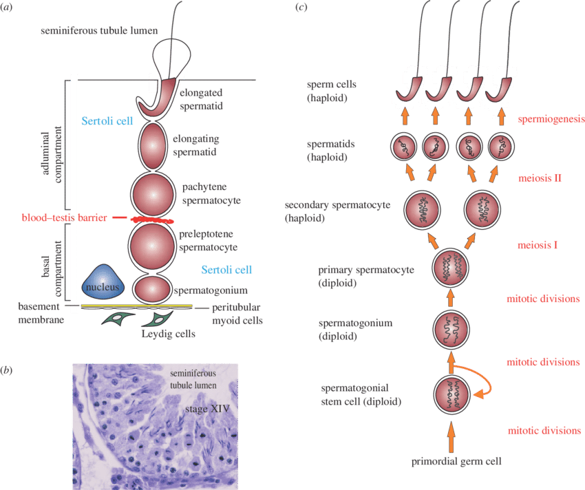 banner free stock The biology of spermatogenesis in the rat