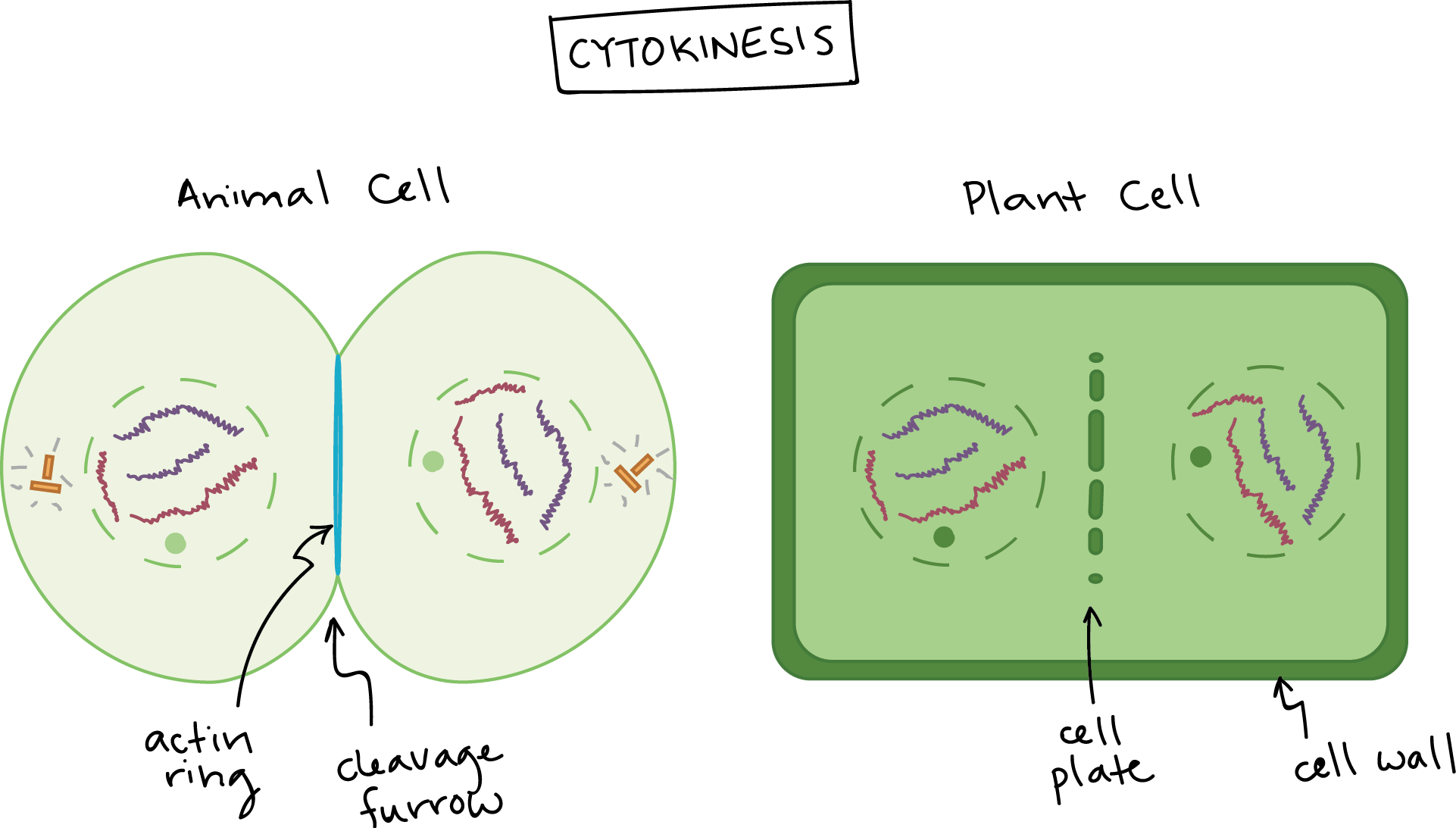 clip download Phases of mitosis