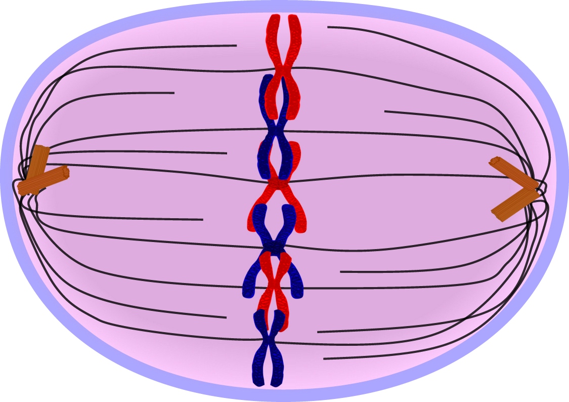 picture transparent stock Copy Of Mitosis