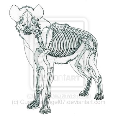 black and white library Hyena skeletal by guardianangel. Drawing bears anatomy