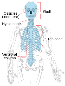 svg freeuse Axial skeleton