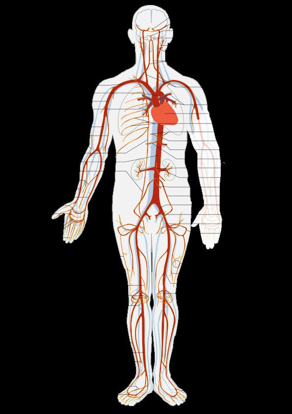 jpg library library Arterial System en
