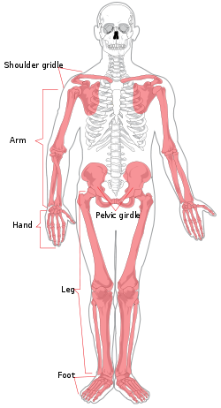 clipart royalty free download Appendicular skeleton