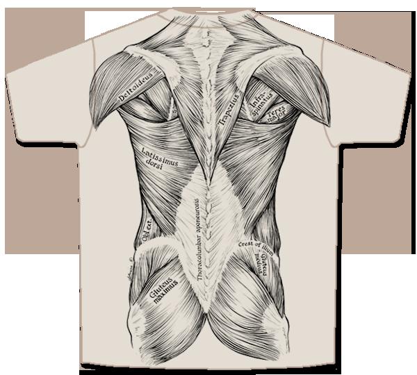 clip art transparent stock Musculoskeletal System