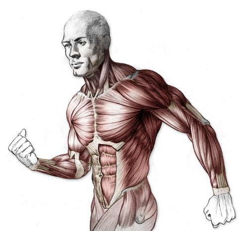 picture library stock drawing muscle muscular torso #95239068