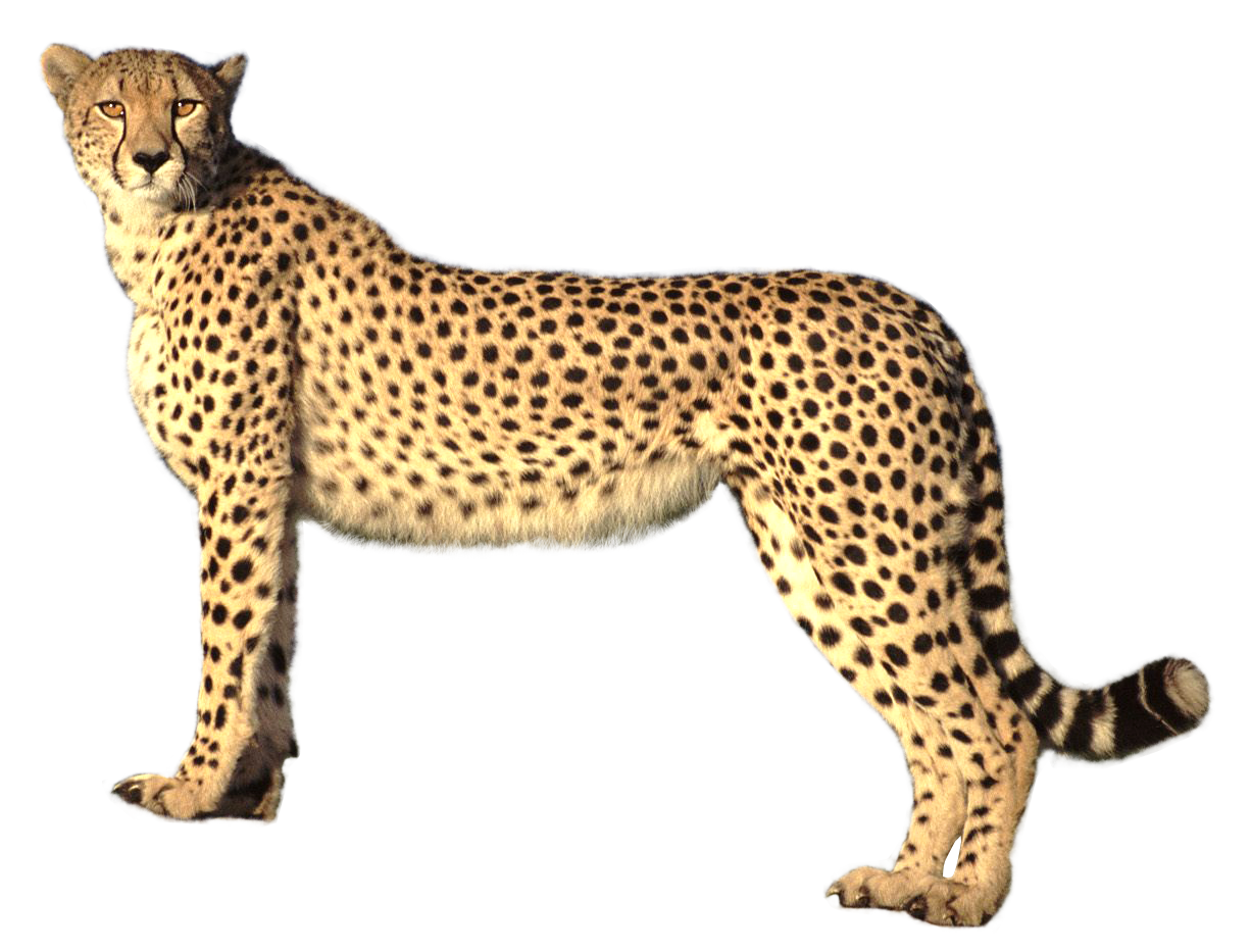 clip library library Cheetah PNG Transparent Image