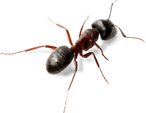 clipart black and white Ant Top View transparent PNG
