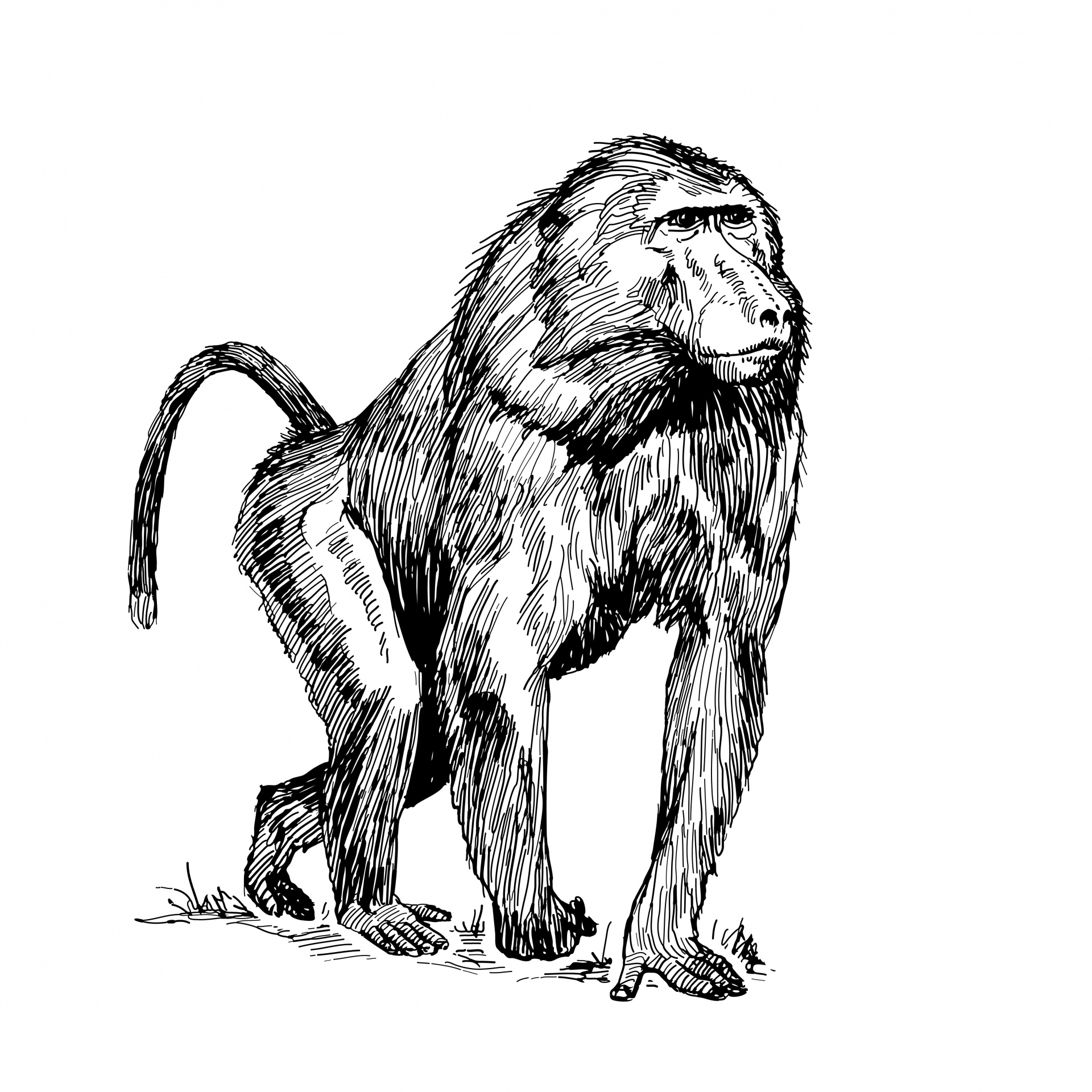 jpg transparent stock Ape clipart baboon. Monkey primate animal free