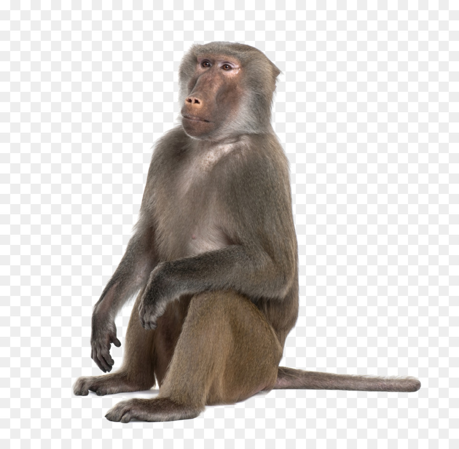 jpg free download Mandrill hamadryas primate monkey. Ape clipart baboon