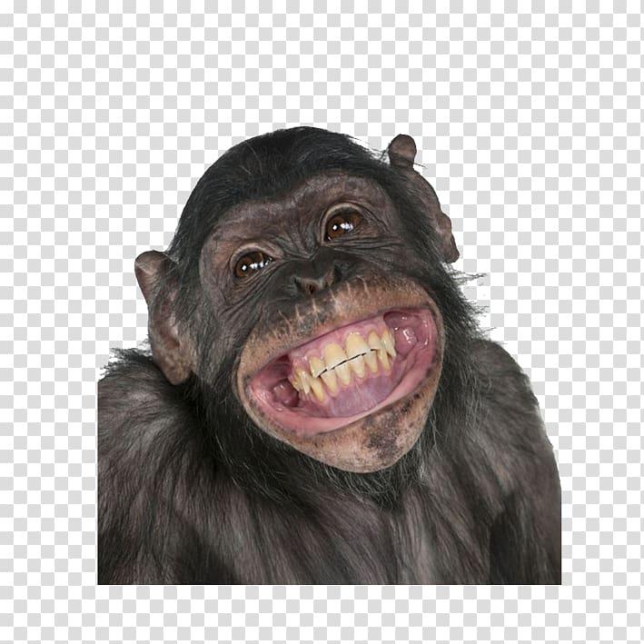 vector black and white Ape clipart gorilla family. Chimpanzee primate monkey circus