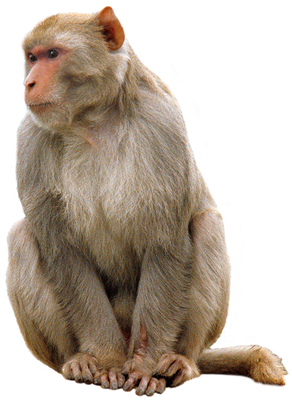 clip art royalty free library Ape clipart macaque.  list different types