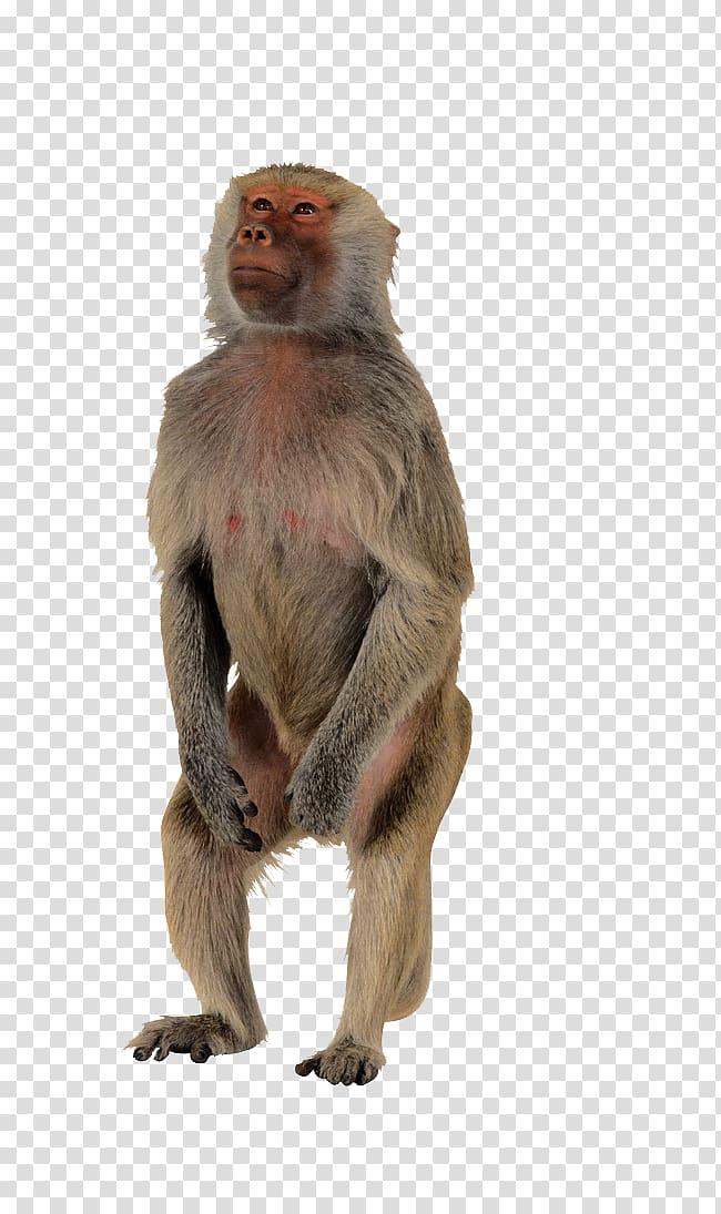 jpg library stock Gray monkey polar bear. Ape clipart macaque.