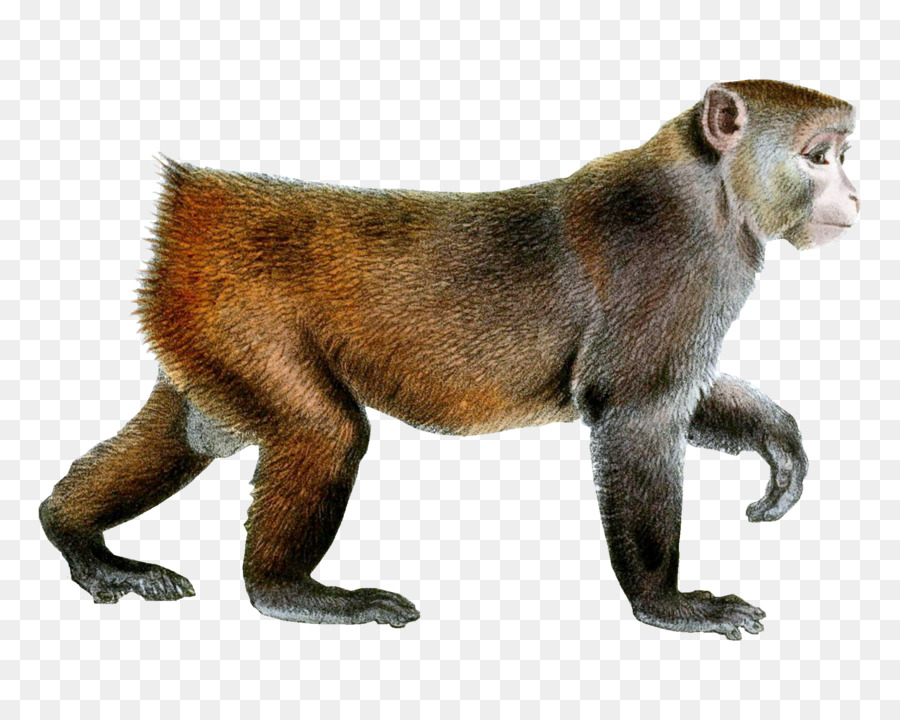 image freeuse stock Monkey cartoon wildlife transparent. Ape clipart macaque.